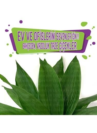 Çiçek Antalya Çiçek Antalya Asperisya Yaprak Aspirisya Bitkisi Lik 1 Demet 10 Dal 50 Cm Yeşil